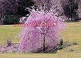 20graines de sakura Fontaine Graines de cerisier pleureur, japonais bonsaï Graines pour DIY Home Garden Arbre Nain