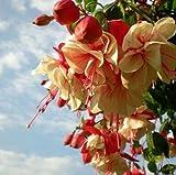 120PCS Multicolor Rosa Doppelblütenblätter Fuchsia...
