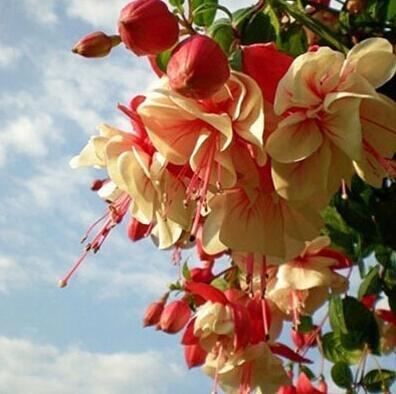 120PCS Multicolor Rosa Doppelblütenblätter Fuchsia Samen Topfblumensamen Topfpflanzen Hängende Fuchsie 2