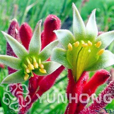 Bloom Green Co. 20PCS African Red Lila Mini Sky Blue Rare Kangaroo Paw Rare Jardin Bonsai Schiff frei Schöne Pflanze Bonsai Blumenpflanze: 6