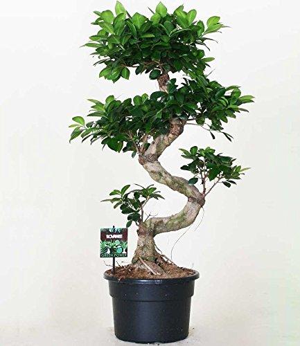 BALDUR-Garten Zimmerbonsai Ficus Ginseng ca. 50 cm hoch, 1 Pflanze Luftreinigende Zimmerpflanze Feigenbaum Zimmerpflanze