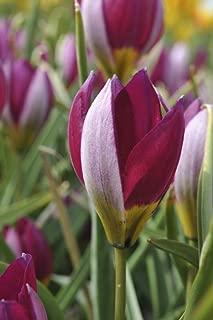 Van Zyverden 87024 Tulips Persian Pearl Set of 25 Bulbs, 6/7 cm, Purple and Silver