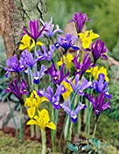 dwarf dutch iris
