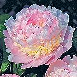 Strauch-pfingstrosen/Wohlhabende Blumenzwiebeln, attraktive, haltbare Pflanzen,...