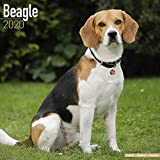 Avonside Publishing Ltd: Beagle Calendar 2020