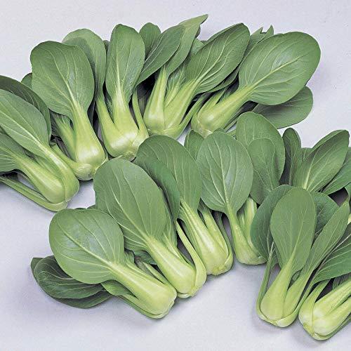 PLAT FIRM GRAINES DE GERMINATION: 100 - Graines: Li Ren Choy hybride Pak Choi Seeds - Großes frisches Essen der ganze !!!!!! Saison
