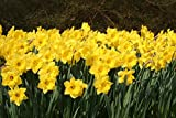Eight Weeks of Daffodils Mix, 50 Bulbs,Bloom all spring