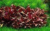 Tropica Aquarium Pflanze Alternanthera reineckii 'Mini Nr.023C TC in Vitro 1-2 Grow Wasserpflanzen Aquariumpflanzen