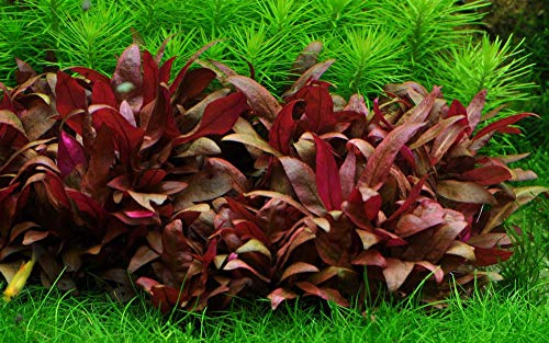 Tropica -   Aquarium Pflanze