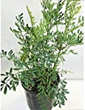 RUDA / RUE Full Plant with rooth