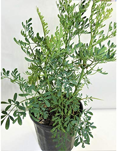 herb RUDA RUE Full Plant with rooth, green, small