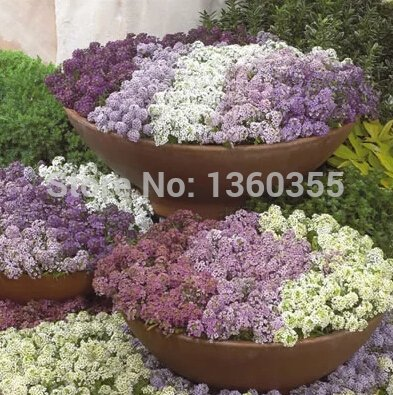 Spécial parfumé graines de fleurs Lobularia maritima, Hornsey graine de balle, d'épices boule de neige, environ 50 particules