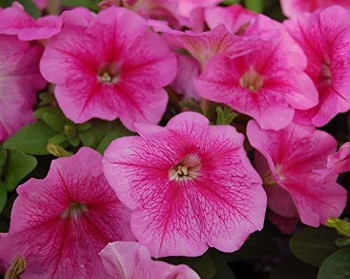 vegherb 50 Samen - Pelletierte Samen Logro Floribunda Rose Vein Frühling Seeds