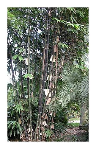 Gigantochloa atroviolacea - bambou tropical noir - 20 graines