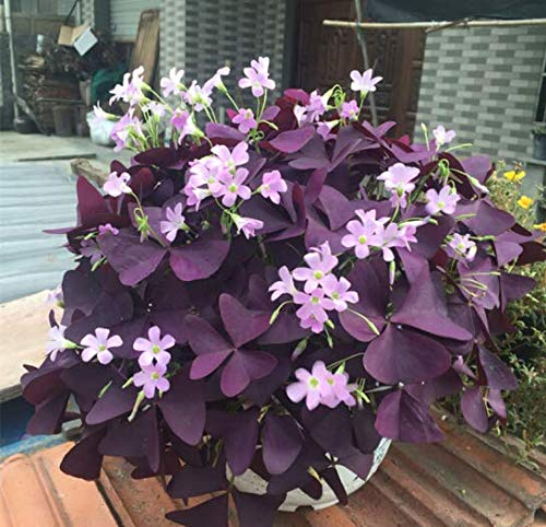 Oxalis Bulbs - 20 Purple Shamrocks Bulbs - Outstanding Garden Flowers Fast Grow Bonsai Cute Flowers Easy to Plant