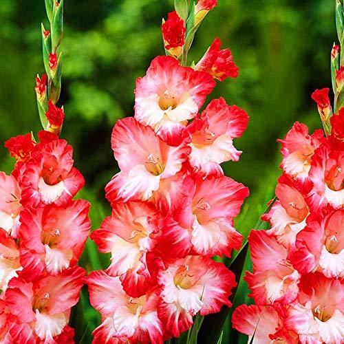 Gartenpflanzen 5x Gladiolen zwiebeln Mehrjährige winterharte pflanzen großblumige Gladiolus Pink Lady