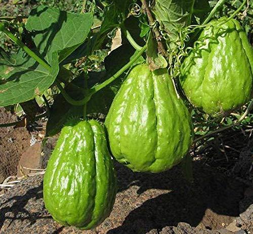 Plantes d'extérieur Jardin d'ornement citrouille Chayote Graine Bonsai Plante en pot fruits verts légumes semences de haute nutrition 10 Pcs