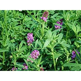 Alfalfa Seeds Rabbit Lucerne