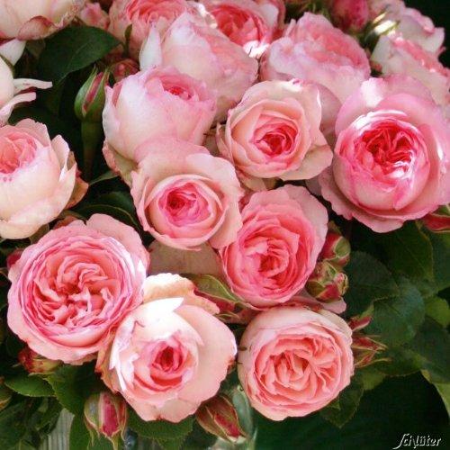 Kletterrosen in vielen Sorten und Farben (Im 5 Liter Container, Mini Eden Rose)
