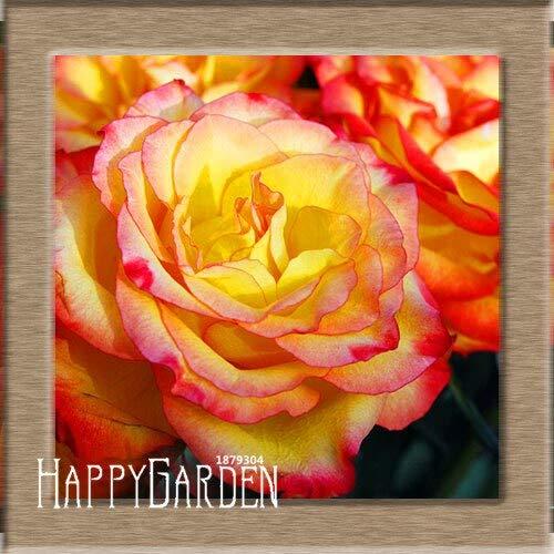 Kalash New 100pcs Rose Blumensamen für Gartenarbeit Gelb Rot