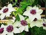Clematide Rampicante Pianta,Appartiene a Ranunculaceae e Clematis,Fiori straordinari-2,1Bulbo