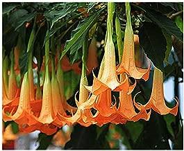 Orange Glory Angel Trumpet Seeds - Brugmansia Suaveolens Orange