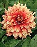 Schmuck Dahlie großblumig Dazzling Magic Knolle Blumenzwiebeln (1)