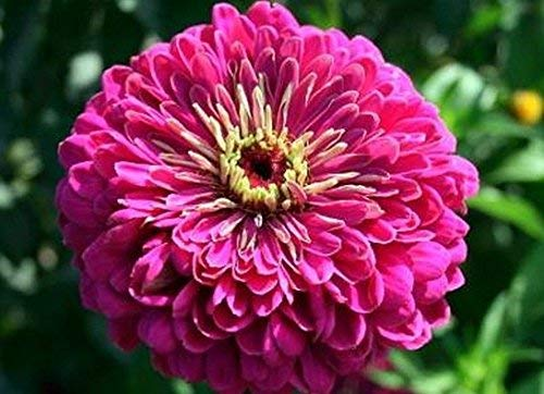 MIYU Zinnia-Elegan- Violet Queen- 100 Samen