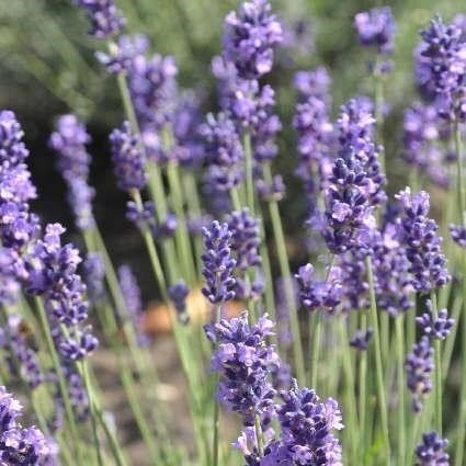 Lavendel Lavendula angustifolia Hidcote Blue 9 cm