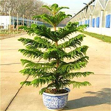 Pianta dappartamento da Botanicly Araucaria con vaso nero come set Altezza: 85 cm Araucaria