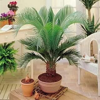 Seed House-KOUYE Palm Tree Seeds Garden Exotic Tree Hardy Perennial Palm Tree houseplants Balcony Ornamental Plant Bottle Palm Seed