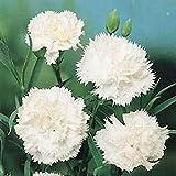カーネーション - 白 - 50種子