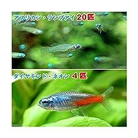 (熱帯魚)アフリカン・ランプアイ Sサイズ(20匹) + ダイヤモンド・ネオンテトラ(4匹) 北海道航空便要保温