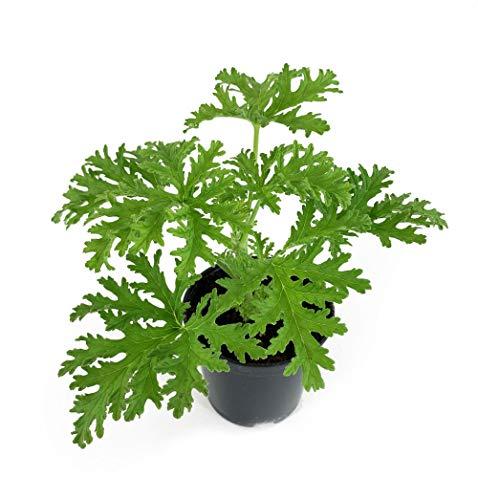 Lebende Topfpflanze Zitronengeranie Pelargonium graveolens Zimmerpflanze Duftgeranie Flauschig, Intensiv grün Geranie Zitronendu