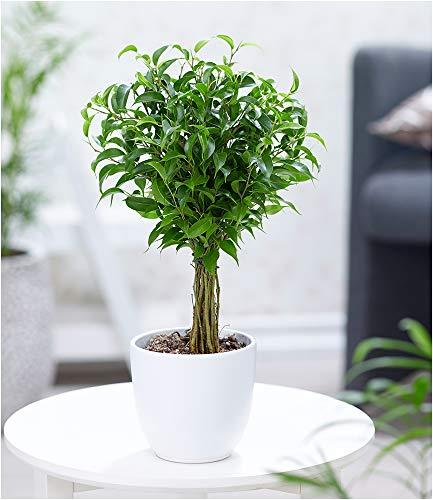 BALDUR Garten Fikus am Stamm Babilatos, 1 Pflanze Birkenfeige Hochstamm Zimmerpflanze