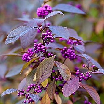 Callicarpa bodinieri /'Profusion/' Beauty Berry Plants Set of 3 in 9cm Pots