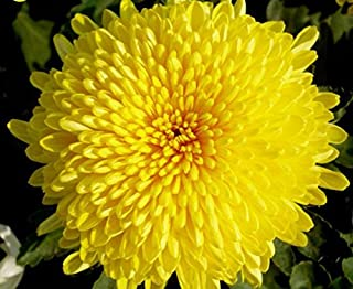 Mr.seeds 100 pcs/bag Beautiful Yellow Chrysanthemum Seeds Chrysanthemum Morifolium Seeds Flower Potted Plant for DIY Home Garden