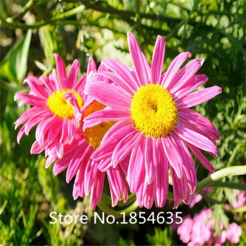Garden Plant 200 Daisy Seeds -Natural Mosquito Repellent,Easy Cultivation Flower Seeds Bonsai Seed