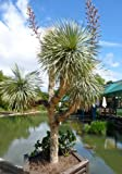 TROPICA-Blaue Yucca (Yucca rostrata)-10 Samen -