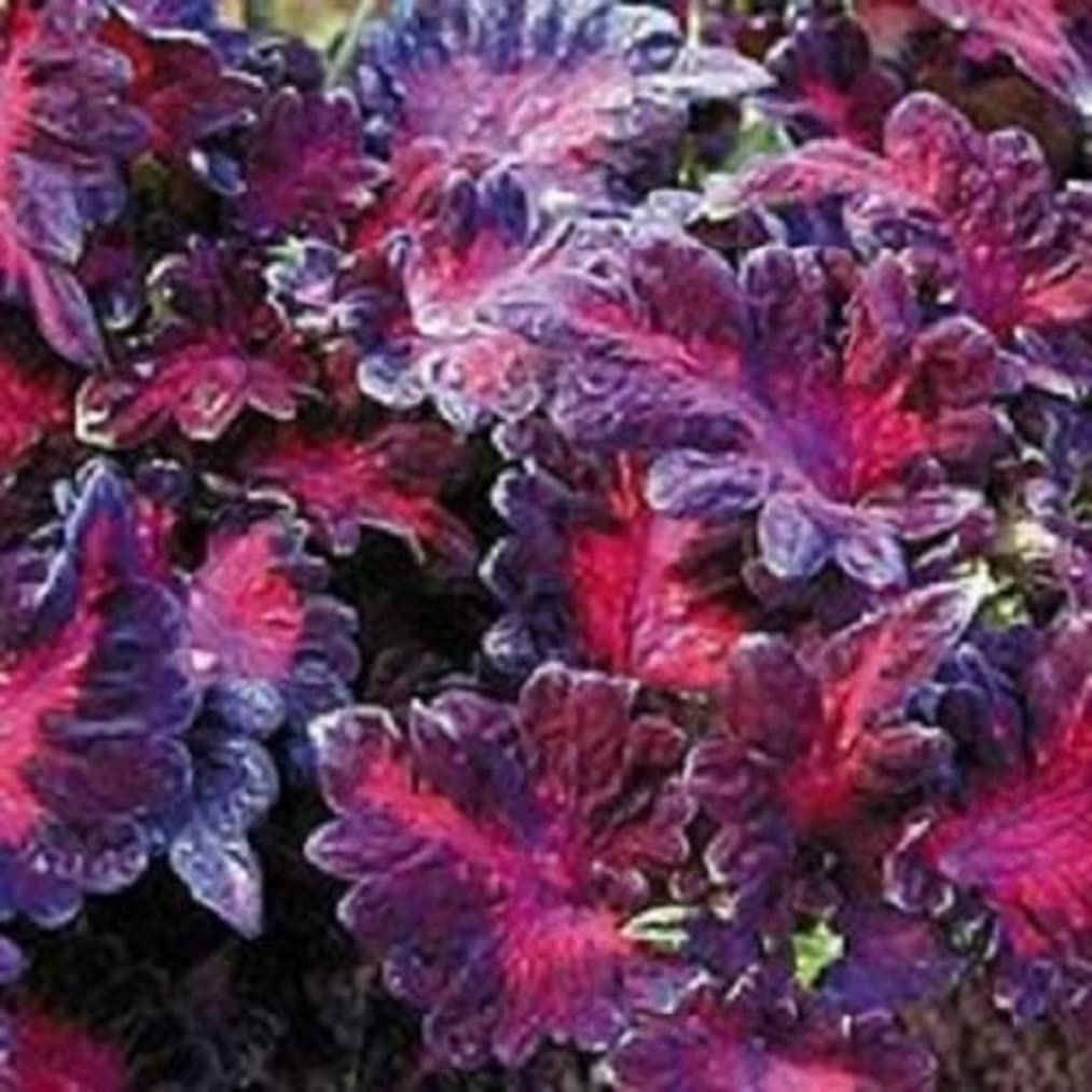 50+ Coleus Black Dragon Shade Loving Flower Seeds/Long Lasting Annual