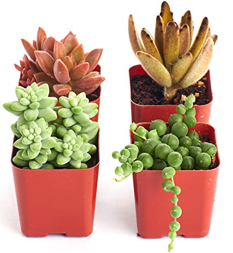 Shop Succulents | Cityscape Collection | Assortment of Hand Selected, Fully Rooted Live Indoor Succulent Plants in Moody Color Palette-Portland, 4-Pack