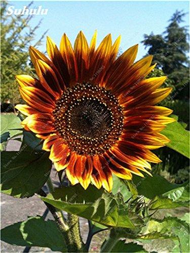 Nouveautés 40 Pcs Graines de tournesol bio mixte Helianthus annuus Graines d'ornement semences de fleurs de tournesol russe plante pour jardin 23