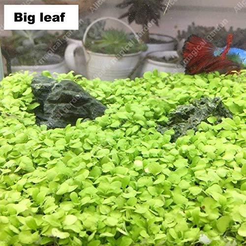 Pinkdose ZLKING 1000 Stück Aquarium Wasser Graspflanze Glossostigma Hemianthus Callitrichoides Aquarium Dekoration Landschaftsdekoration