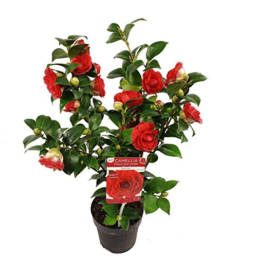 Blume von Botanicly – Kamelie – Höhe: 35 cm, rote Blüten – Camellia japonica Black Lace