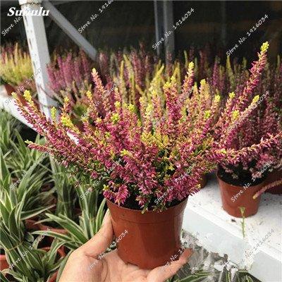 Happy Farm gypsophile Etoiles Sky Seed Hybrids Flower Seed jardin décoratif Aménagement paysager, Plante vivace Fleur 150 Pcs 9