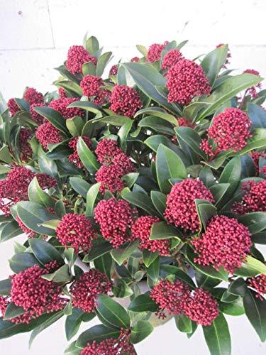 Baumschule Pflanzenvielfalt Skimmia Japonica Rubesta Jos - Japanische Skimmie Rubesta Jos