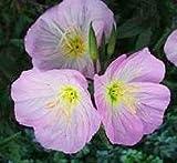 40 + SEMI SHOWY ROSA ENOTERA DOLCE PROFUMO/OENOTHERA Elata/fiore