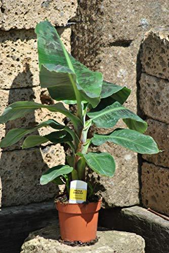 Bananenpflanze,Fruchtbanane,Musa Dwarf,Zwergbanane,Pflanze mit ca.80cm Produktname