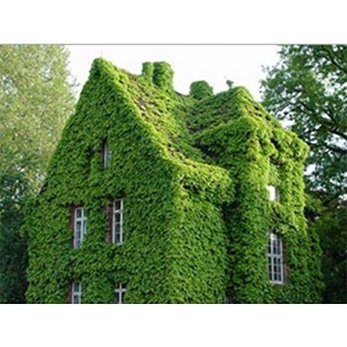 nulala 40 stücke efeu samen Creeper Seeds Green Anti-Strahlung ultravioletter Strahl Bonsai Pflanzen Kletterpflanzen für Haus und Garten