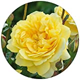 David Austin English Rose The Poet's Wife - New for 2017